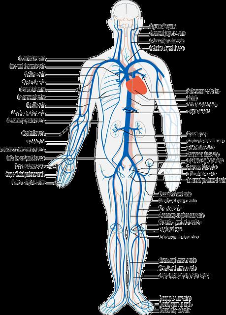 human 41635 640 Mammal circulatory system